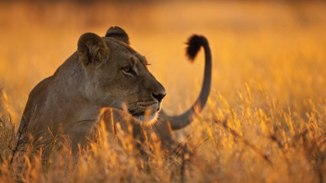 Africa, Botswana, Lioness in central kalahari game reserve