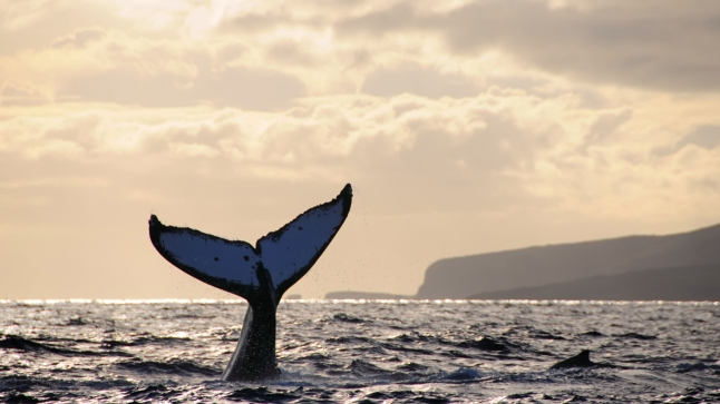 Humpback whale does a headstand at sunset with Lanai, Hawaii in the background.