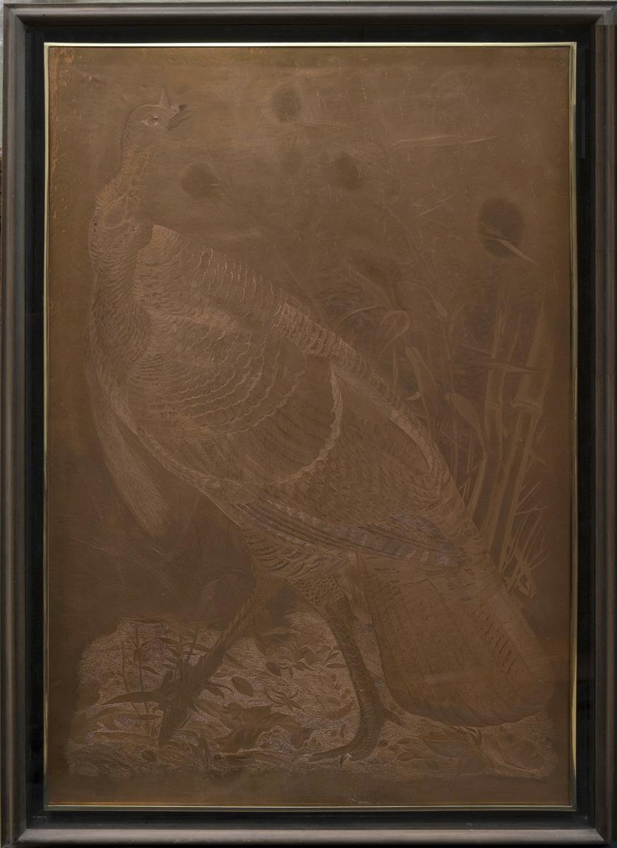 2 WildTurkey_Copperplate AMNH