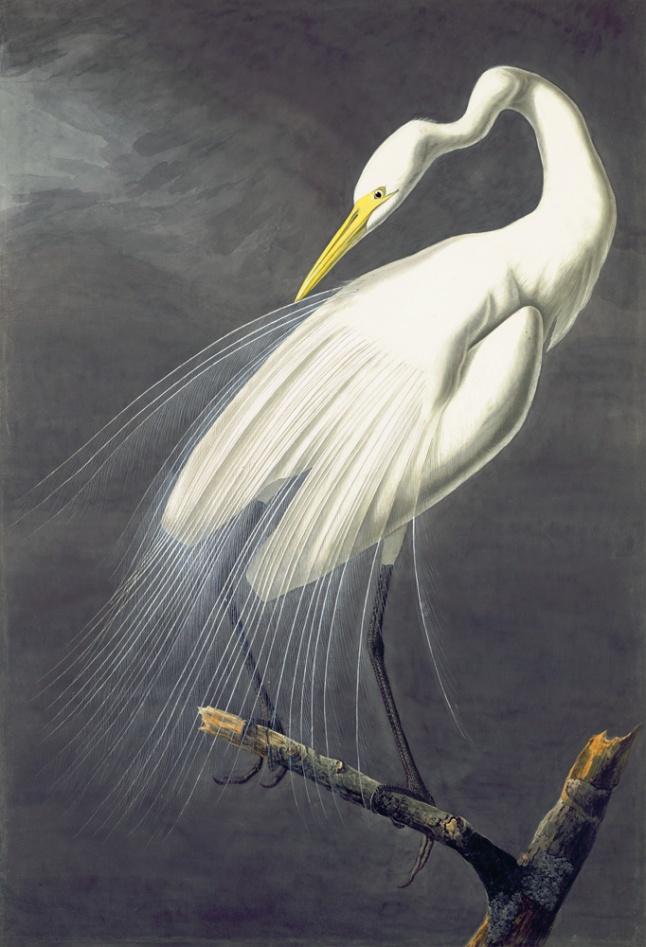 N-YHS Oppenheimer Edition, Plate 18.30 Great White Egret