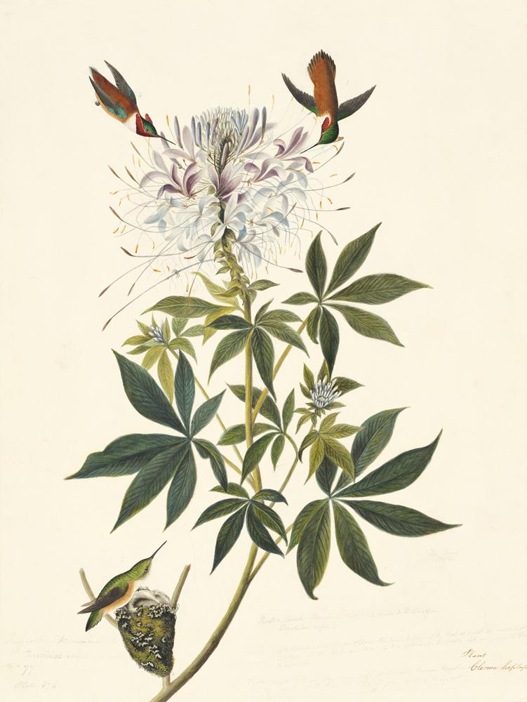 1863-17-379RufousHummingbird